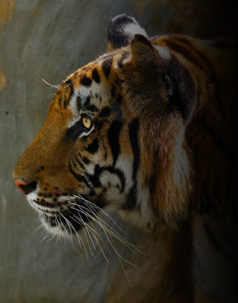 Three Former Circus Tigers Rescued from Guatemala by Animal Defenders International ...Now reside at Big Cat Rescue.