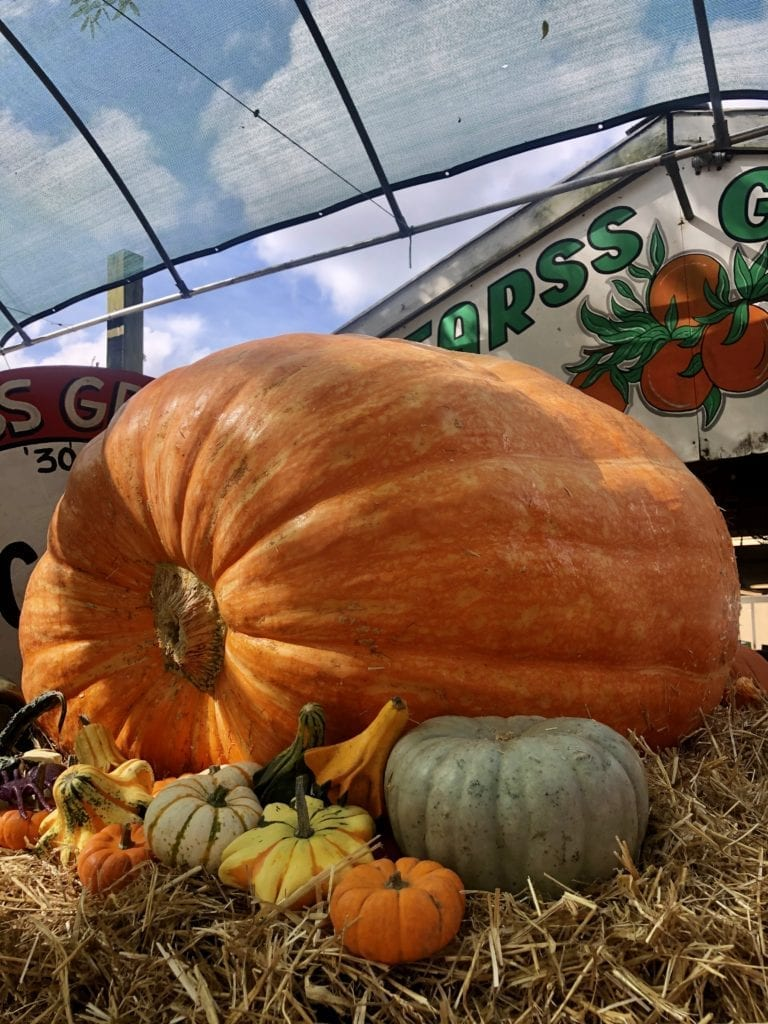 Largest Pumpkin in Florida.  Bearss Groves sells a variety of locally-grown produce and has a large pumpkin patch open through the end of October.